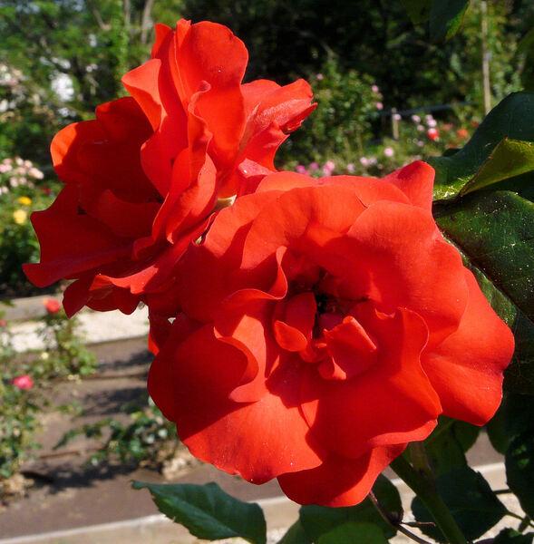 Rosa 'Zambra ®'