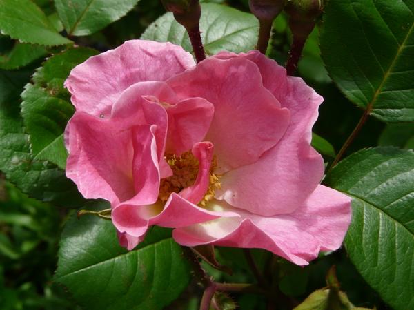 Rosa 'Sparrieshoop'