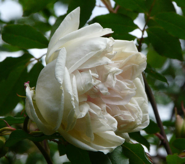 Rosa 'Parks' Yellow Tea-scented China'