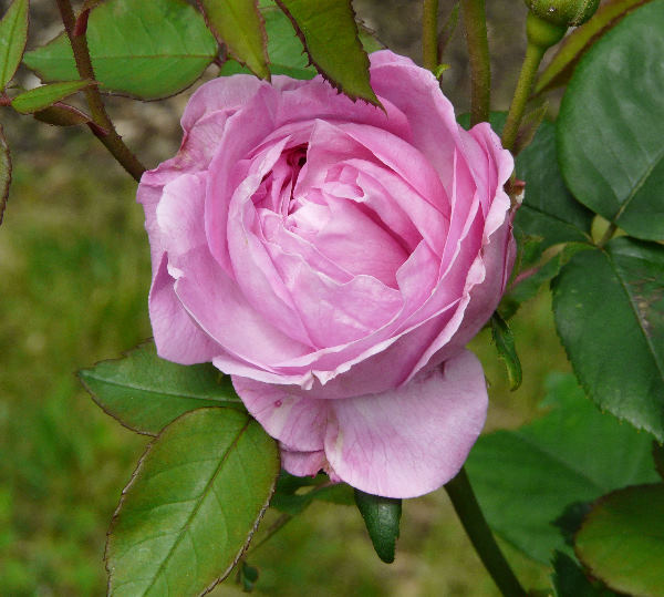Rosa 'L'Ouche'