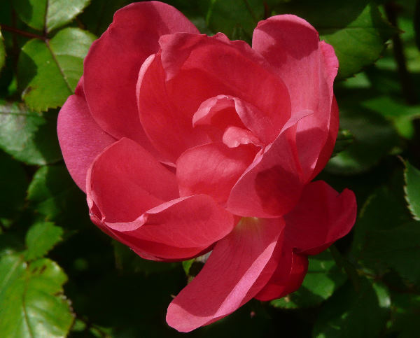 Rosa 'Knock Out ™'
