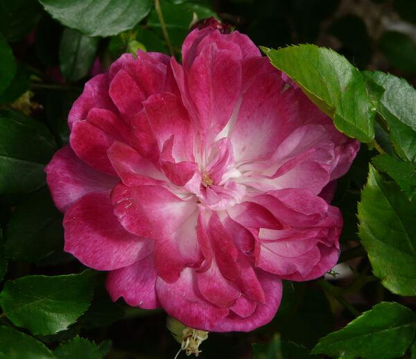 Rosa 'Sophie's Perpetual'