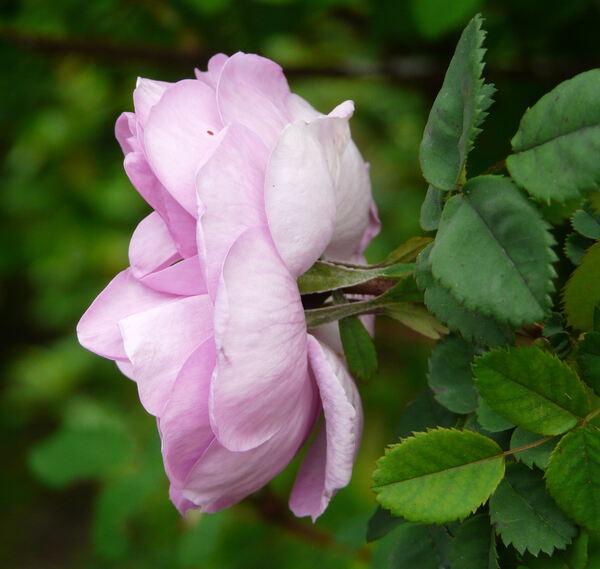 Rosa 'Poppius'