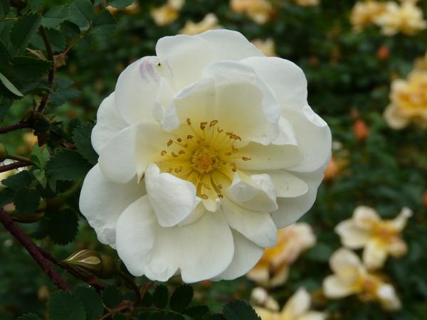 Rosa 'Double Blush'