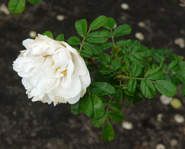 Rosa 'Schneezwerg'