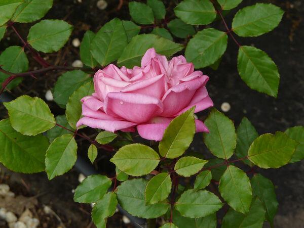 Rosa 'Madame Lombard'