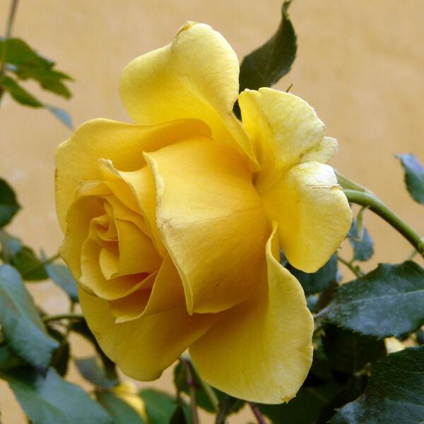 Rosa 'Rimosa ® Cl.'