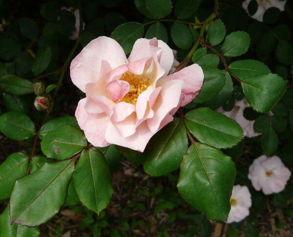 Rosa 'Clair Matin'