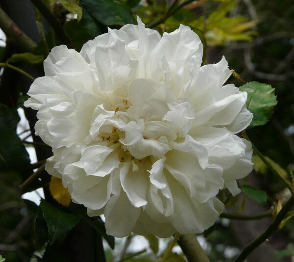 Rosa 'Fortuniana'