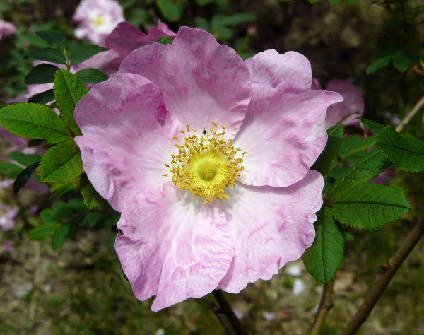 Rosa roxburghii Tratt.