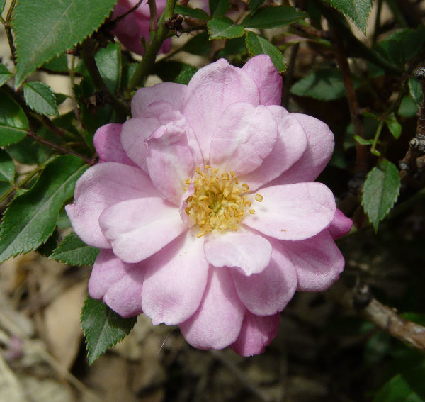 Rosa 'Pompon de Paris'