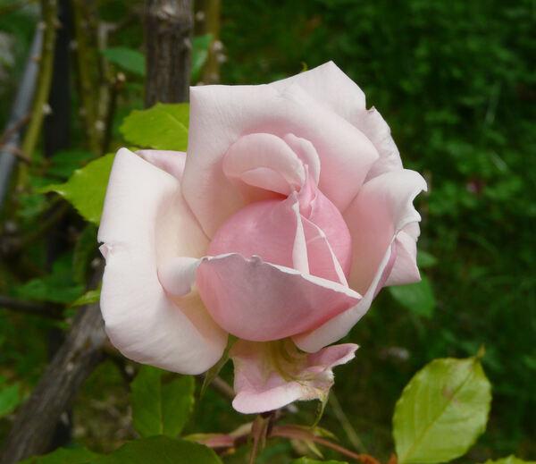 Rosa 'Belle Portugaise'
