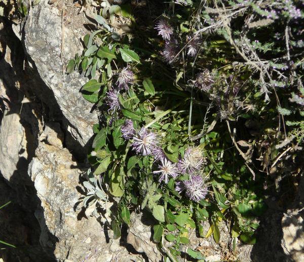 Centaurea raphanina Sibth. & Sm. subsp. mixta (DC.) Runem.