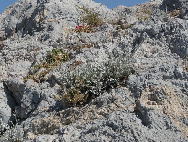 Inula verbascifolia (Willd.) Haussk. subsp. methanea (Hausskn.) Tutin