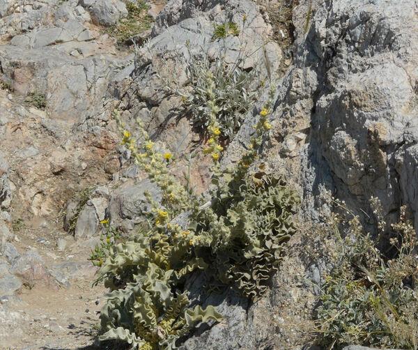 Verbascum undulatum Lam.