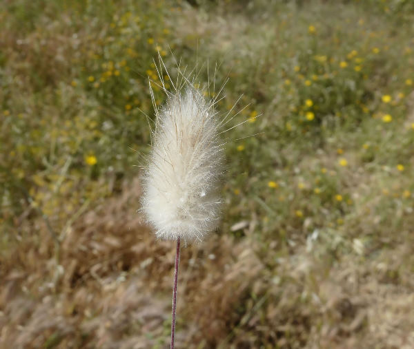 Lagurus ovatus L. subsp. ovatus