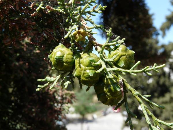 Cupressus sempervirens L. 'Horizontalis'