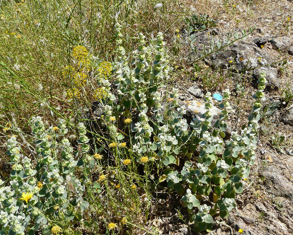 Ballota acetabulosa (L.) Benth.