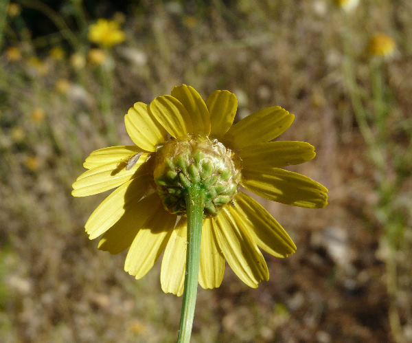 Glebionis coronaria (L.) Spach