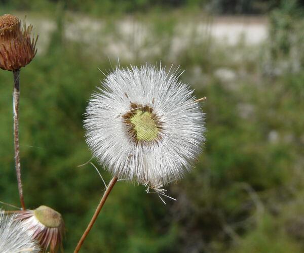 Phagnalon rupestre (L.) DC. subsp. rupestre