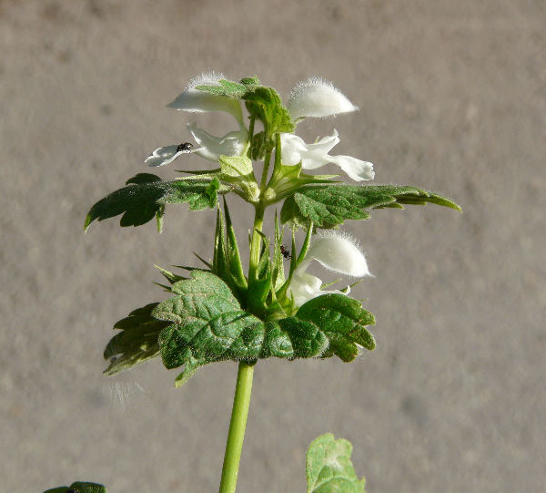 Lamium moschatum Mill.