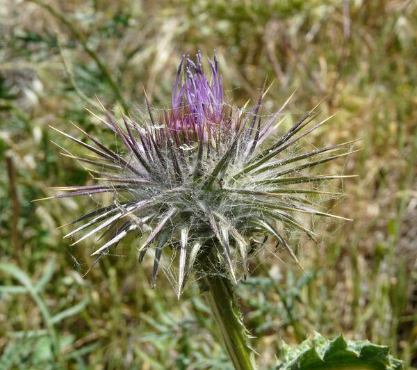 Cirsium creticum (Lam.) d'Urv. subsp. creticum
