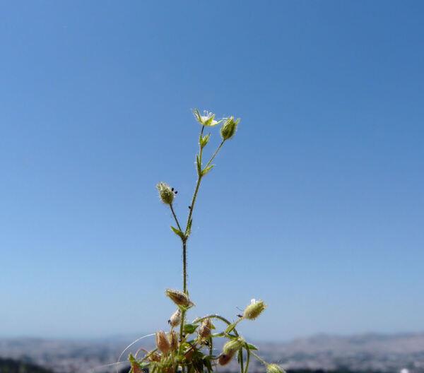 Arenaria serpyllifolia L. s.l.
