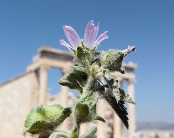 Malva multiflora (Cav.) Soldano, Banfi & Galasso