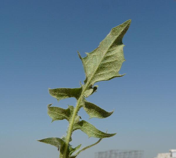 Crepis hellenica Kamari