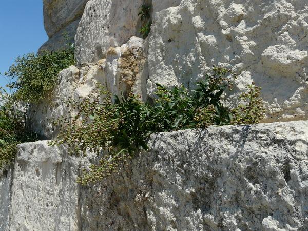 Scrophularia heterophylla Willd.