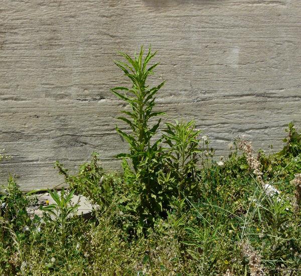 Erigeron canadensis L.
