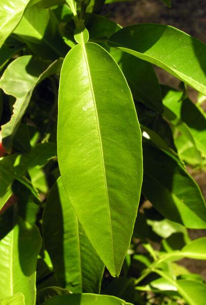 Citrus ×aurantium L.