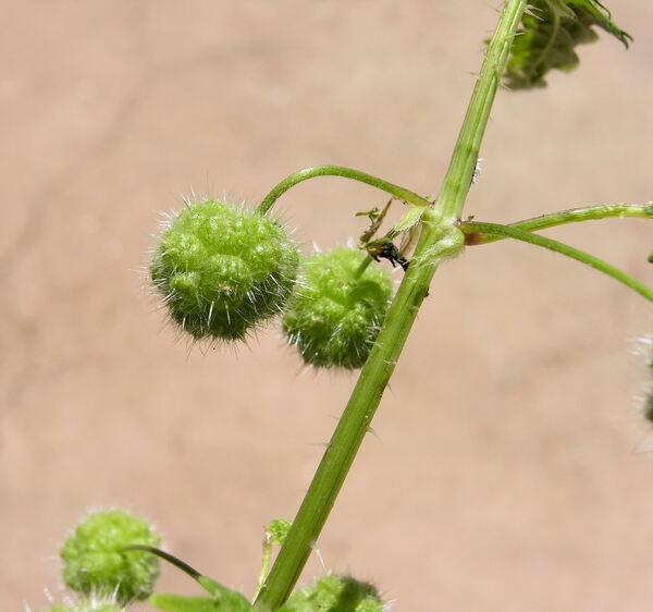 Urtica pilulifera L.