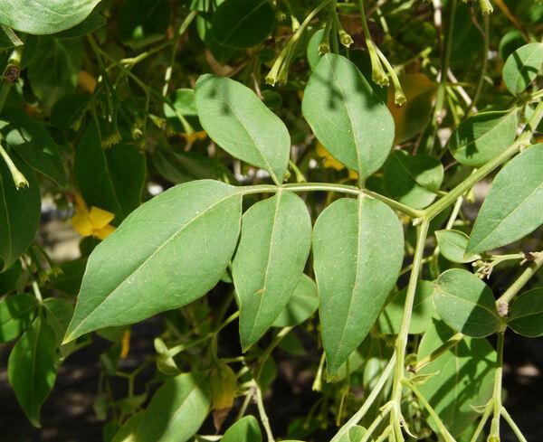 Chrysojasminum humile (L.) Banfi