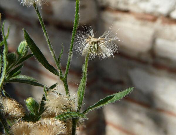 Erigeron bonariensis L.
