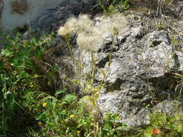 Scorzonera sublanata Lipsch.