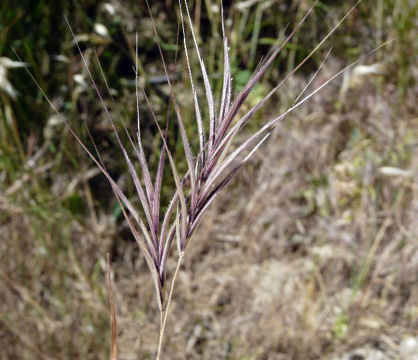 Anisantha madritensis (L.) Nevski subsp. madritensis