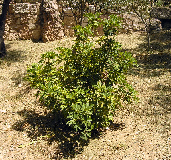 Schefflera arboricola (Hayata) Kanehira