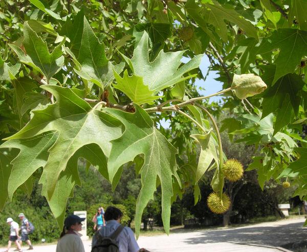Platanus orientalis L.