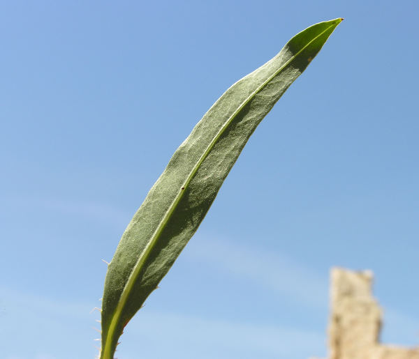Chondrilla ramosissima Sibth. & Sm.