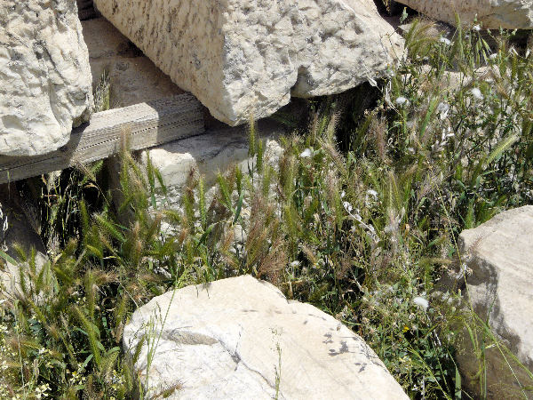 Hordeum murinum L. subsp. leporinum (Link) Arcang.