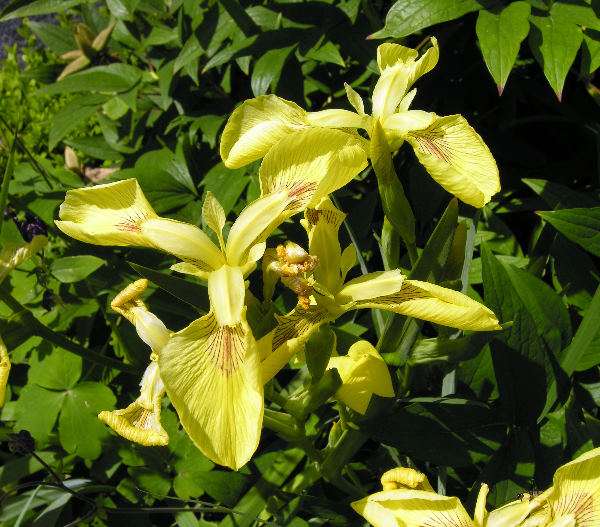 Limniris pseudacorus (L.) Fuss 'Pallidiflora'