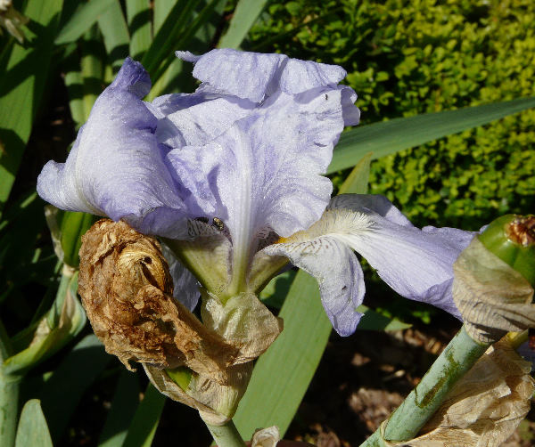 Iris 'English Cottage'