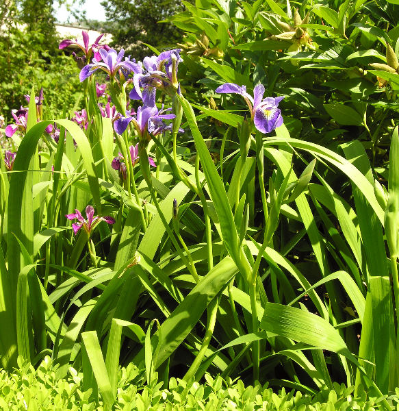 Iris prismatica Pursh ex Ker-Gawl.