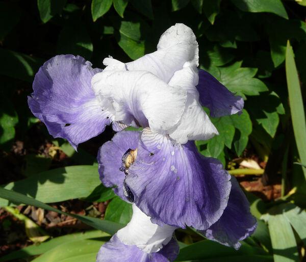 Iris 'Sky Hawk'