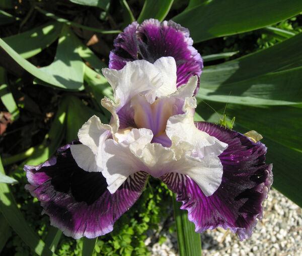 Iris 'Curacao'