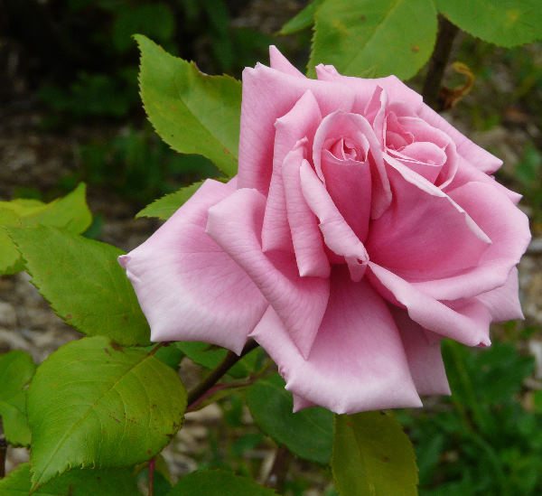 Rosa 'Eugène Verdier'