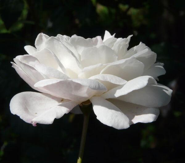 Rosa 'Félicité et Perpétue'