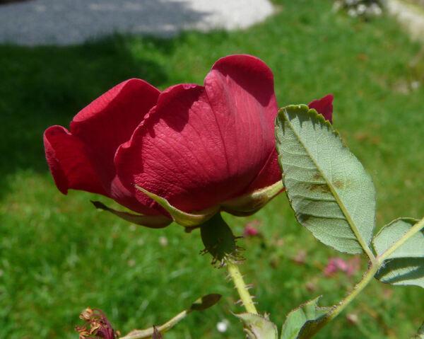 Rosa moyesii Hemsl. & E.H.Wilson