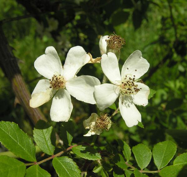 Rosa helenae Rehder & E. H. Wilson